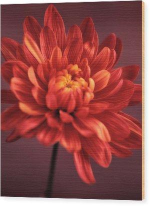 Chrysanthemum 7 Wood Print by Joseph Gerges