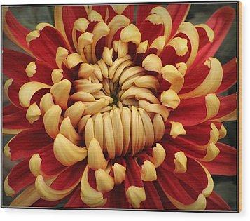 Chrysanthemum In Full Bloom Wood Print