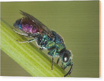 Chrysidid Wasp Wood Print by Andre Goncalves