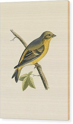 Citril Finch Wood Print by English School