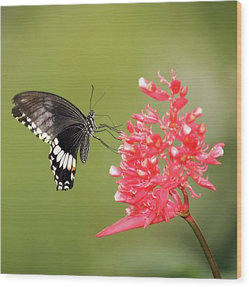 Wood Print featuring the photograph Citrus Swallowtail by Grant Glendinning