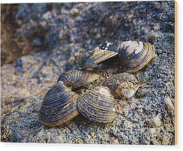 Clam Shells Wood Print by Melissa Messick