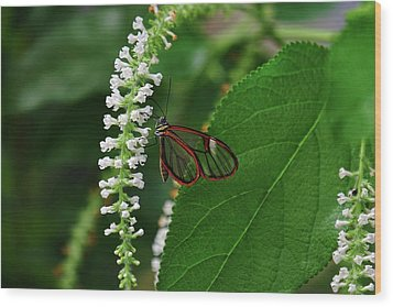 Clearwing Butterfly Wood Print