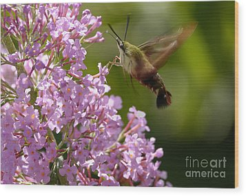 Clearwing Pink Wood Print by Randy Bodkins