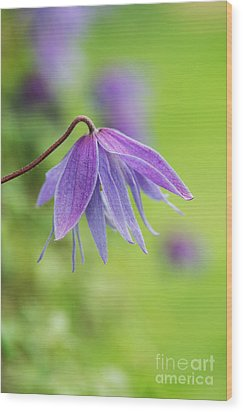 Wood Print featuring the photograph Clematis Lagoon Flower by Tim Gainey