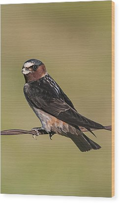 Wood Print featuring the photograph Cliff Swallow by Gary Lengyel
