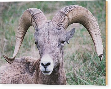 Close Up Big Horn Sheep Wood Print