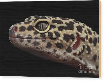 Close-up Leopard Gecko Eublepharis Macularius Isolated On Black Background Wood Print