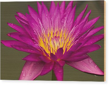 Close Up Of Pink Water Lily Wood Print by Tosporn Preede