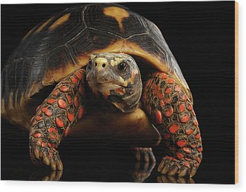 Close-up Of Red-footed Tortoises, Chelonoidis Carbonaria, Isolated Black Background Wood Print