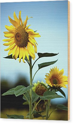 Close Up Of Sunflowers Wood Print by Philippe Doucet