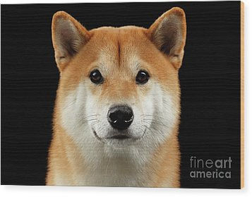 Close-up Portrait Of Head Shiba Inu Dog, Isolated Black Background Wood Print by Sergey Taran