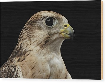 Close-up Saker Falcon, Falco Cherrug, Isolated On Black Background Wood Print