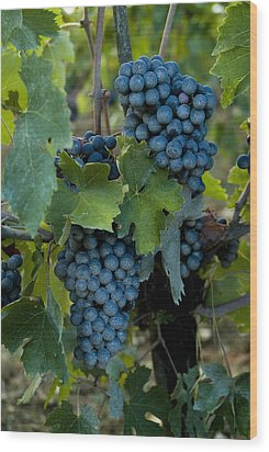 Close View Of Chianti Grapes Growing Wood Print by Todd Gipstein