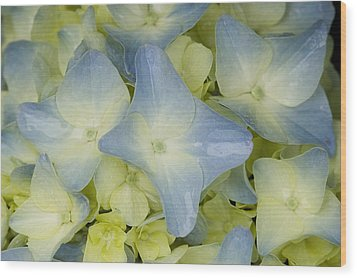 Close View Of Hydrangea Flower Wood Print by Todd Gipstein