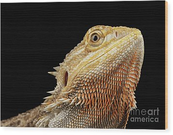 Closeup Head Of Bearded Dragon Llizard, Agama, Isolated Black Background Wood Print