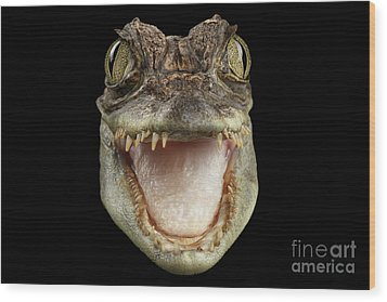 Closeup Head Of Young Cayman Crocodile , Reptile With Opened Mouth Isolated On Black Background, Fro Wood Print
