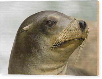 Closeup Of A California Sea Lion Wood Print by Tim Laman