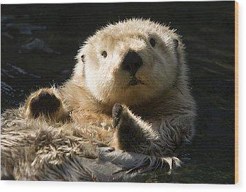 Closeup Of A Captive Sea Otter Making Wood Print by Tim Laman