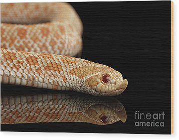 Closeup Pink Pastel Albino Western Hognose Snake, Heterodon Nasicus Isolated On Black Background Wood Print