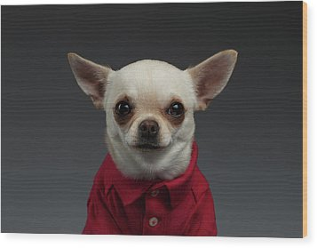 Closeup Portrait Chihuahua Dog In Stylish Clothes. Gray Background Wood Print