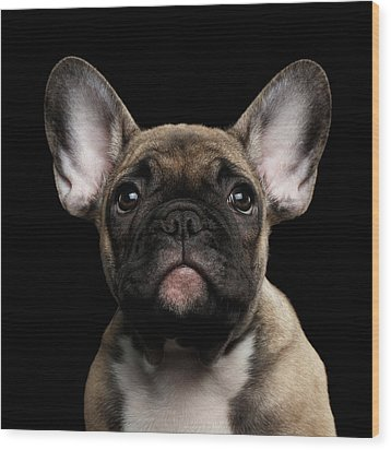 Closeup Portrait French Bulldog Puppy, Cute Looking In Camera Wood Print