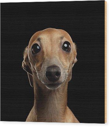 Closeup Portrait Italian Greyhound Dog Looking In Camera Isolated Black Wood Print