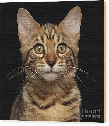 Closeup Portrait Of Bengal Kitty Isolated Black Background Wood Print by Sergey Taran