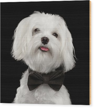Closeup Portrait Of Happy White Maltese Dog With Bow Looking In Camera Isolated On Black Background Wood Print by Sergey Taran