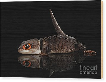 Closeup Red-eyed Crocodile Skink, Tribolonotus Gracilis, Isolated On Black Background Wood Print