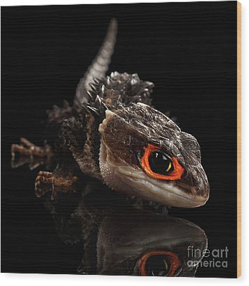 Closeup Red-eyed Crocodile Skink, Tribolonotus Gracilis Wood Print