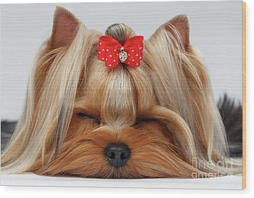 Closeup Yorkshire Terrier Dog With Closed Eyes Lying On White  Wood Print by Sergey Taran