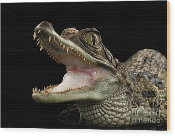 Closeup Young Cayman Crocodile, Reptile With Opened Mouth Isolated On Black Background Wood Print