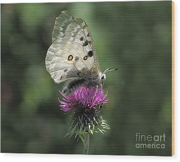 Clouded Apollo Butterfly Wood Print by Jacqi Elmslie