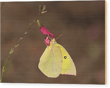 Clouded Sulphur Butterfly On Pink Wildflower Wood Print by Sheila Brown