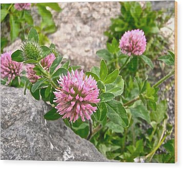 Clover On The Rocks Wood Print