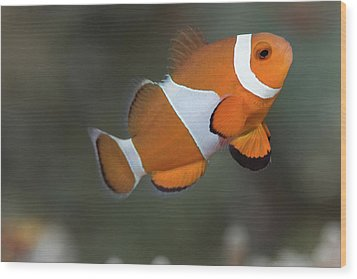 Clown Anemonefish (amphiprion Ocellaris) Wood Print by Steven Trainoff Ph.D.