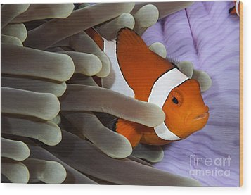 Clown Anemonefish, Indonesia Wood Print by Todd Winner