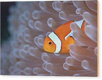 Clownfish In White Anemone Wood Print by Alastair Pollock Photography