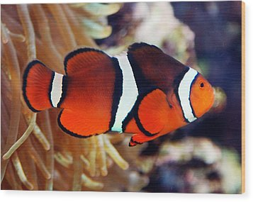 Wood Print featuring the photograph Clownfish by Kathleen Stephens