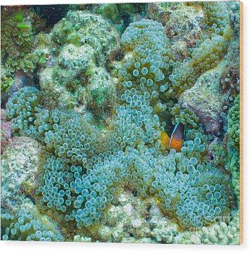 Clownfish Peek-a-boo Wood Print