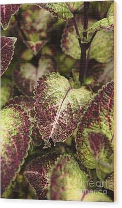Coleus Plant Wood Print by Erin Paul Donovan