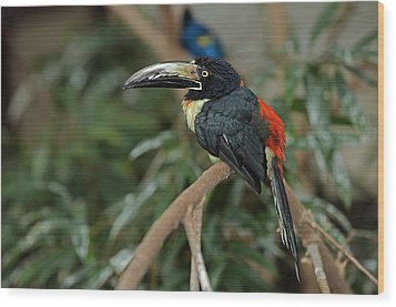 Wood Print featuring the photograph Collared Aracari by JT Lewis