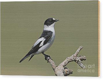 Collared Flycatcher Wood Print by Richard Brooks/FLPA