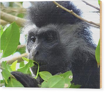 Colobus Monkey Eating Leaves In A Tree Close Up Wood Print