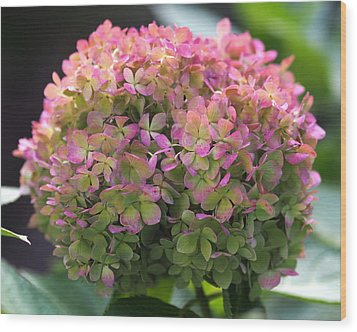 Wood Print featuring the photograph Color-changing Little Lime Hydrangea by Rona Black