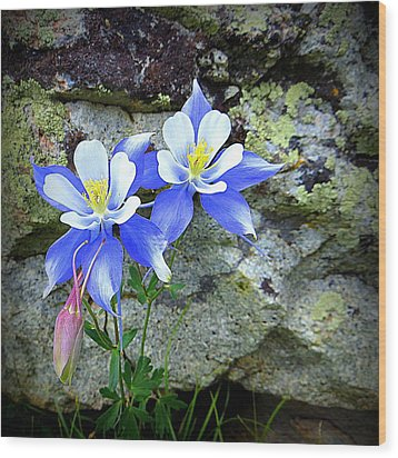 Colorado Columbines Wood Print by Karen Shackles