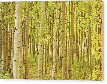 Colorado Fall Foliage Aspen Landscape Wood Print by James BO  Insogna