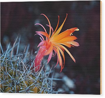 Colorful Cactus Flower Wood Print by Rona Black