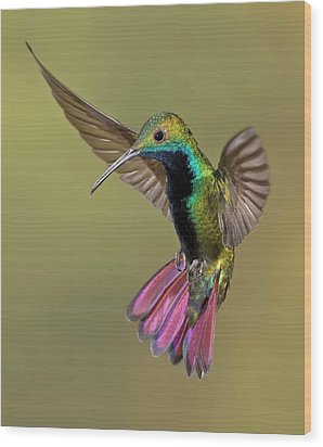 Colorful Humming Bird Wood Print by Image by David G Hemmings
